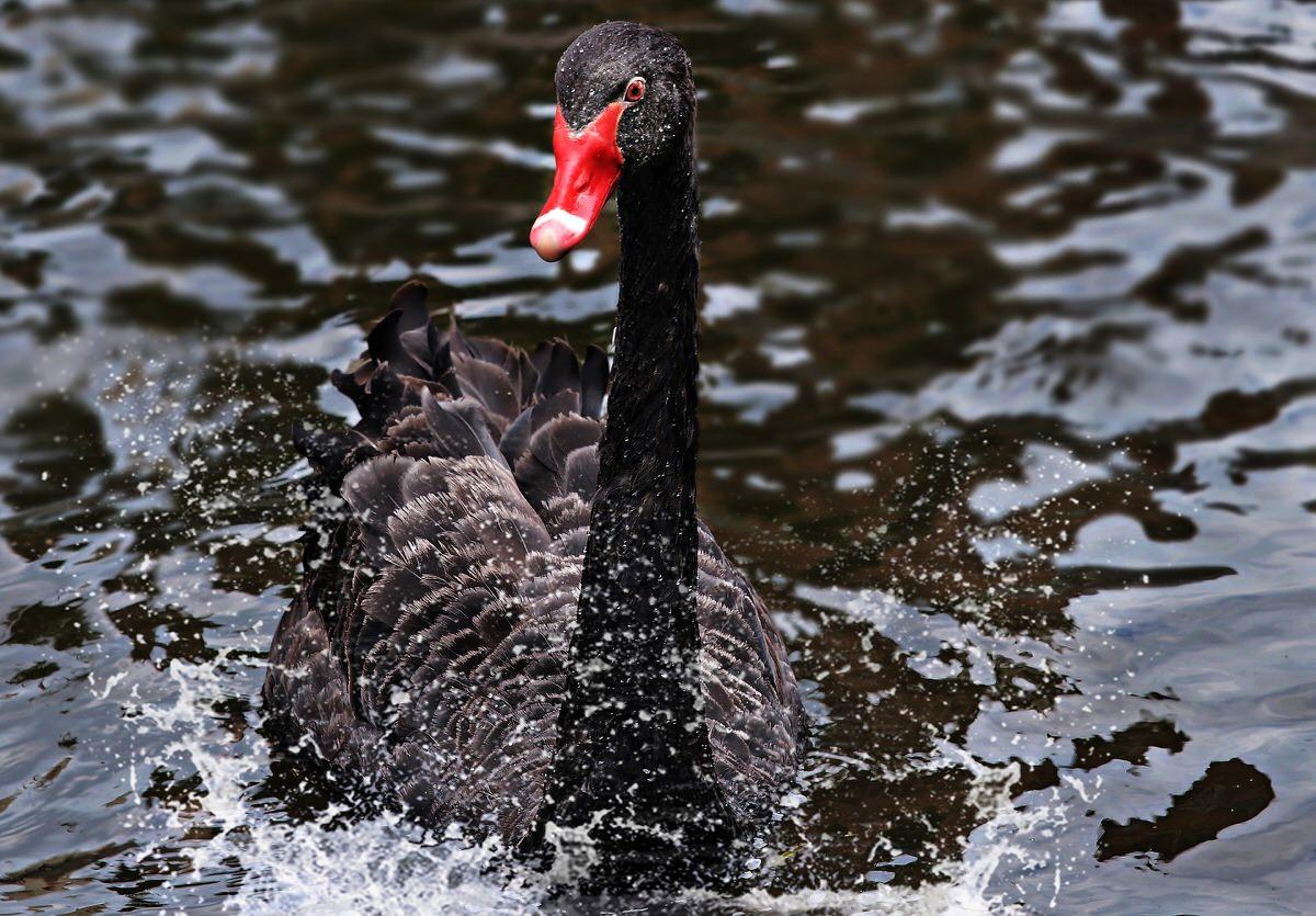 El capitan a posteriori y el cisne negro
